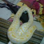 python molurus bivittatus(Albino)