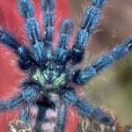 Avicularia Versicolor-Larry