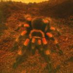 Продавам тарантула  Brachypelma smithi